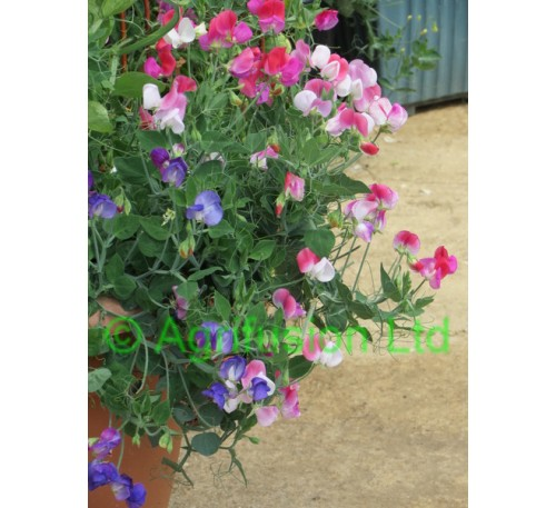 Sweet Pea Cupid Mix