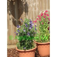 Sweet Pea Solway Blue Vein