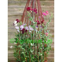 Medium Height Sweet Pea