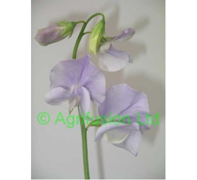 Sweet Pea Solstice Light Blue