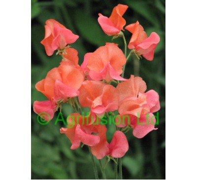 Sweet Pea Prince of Orange