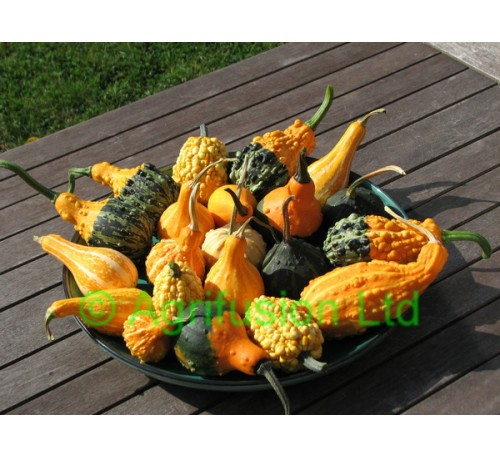 Ornamental Gourd - Warty Mix