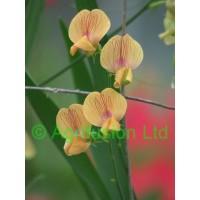 Lathyrus annuus Mrs R Penney