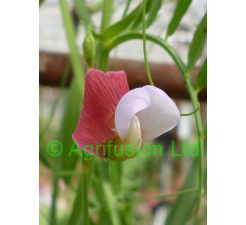 Lathyrus clymenum articulatus
