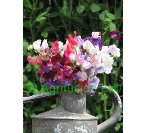 Sweet Pea Heirloom Mix