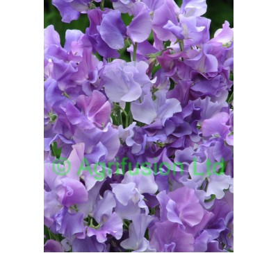 Sweet Pea Violet Wave Mix