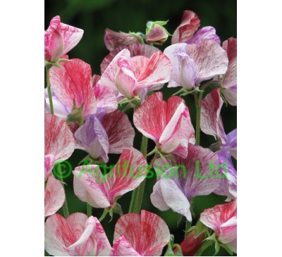 Sweet Pea Heirloom Flake Mix