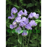 Sweet Pea Blue Wonder