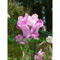 Sweet Pea Darcey Bussell
