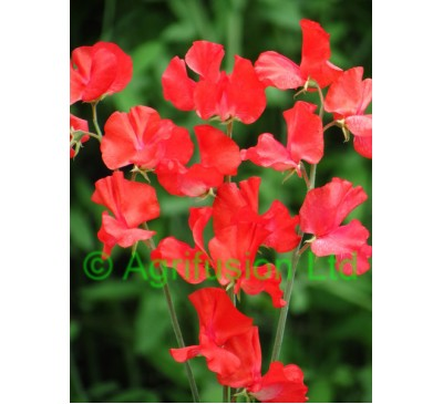 Sweet pea Fields of Fire