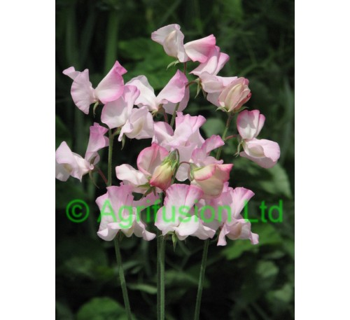 Sweet Pea Rosy Frills