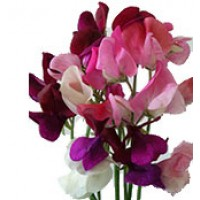 Sweet Peas for Fragrance
