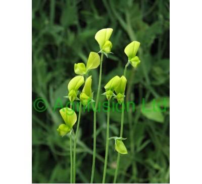 Lathyrus chloranthus