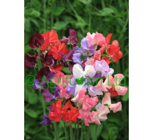 Sweet Pea All Colour Mix