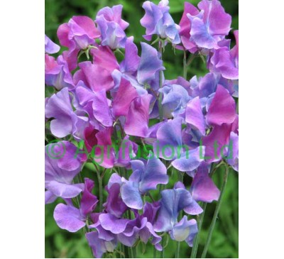 Sweet Pea Blue Shift