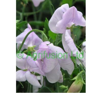 Sweet Pea Cupid Lavender