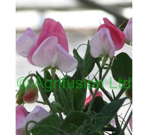 Sweet Pea Cupid Pink