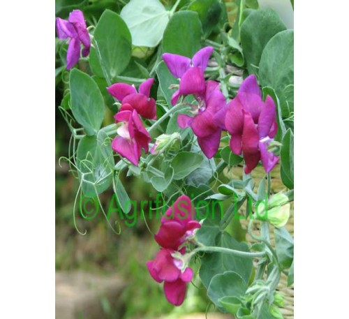 Sweet Pea Cupid Purple