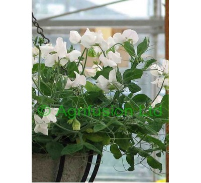 Sweet Pea Cupid White