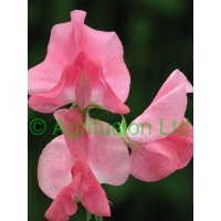 Sweet pea by Email Arrangement