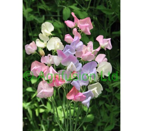 Sweet Pea Heirloom Pastel Mix
