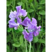 Lavender, Blue & Mauve