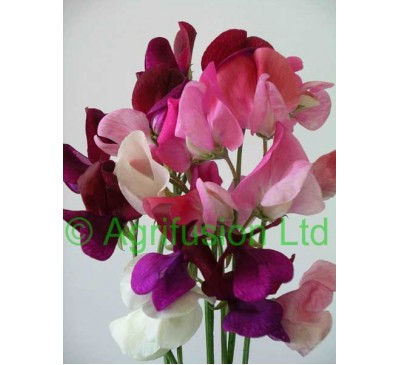 Sweet Pea Parfumiere Mix