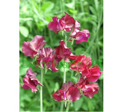 Sweet pea Windsor